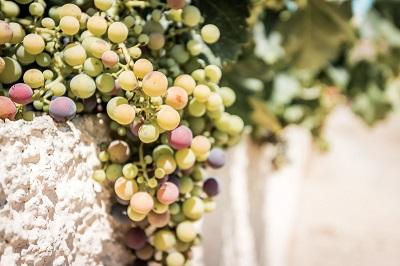 Kreta besitzt sehr viele gute Weingüter
